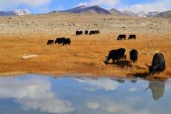 在帕米尔高速公路的牦牛 库存图片