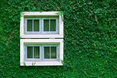 在常春藤墙壁上的窗口 图库摄影