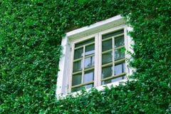 在常春藤墙壁上的窗口 免版税图库摄影