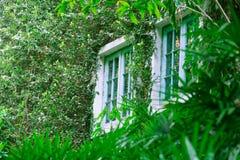 在常春藤墙壁上的窗口 库存图片
