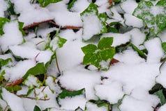 在常春藤布什的冬天雪 库存图片