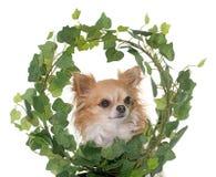 在常春藤的奇瓦瓦狗 库存照片