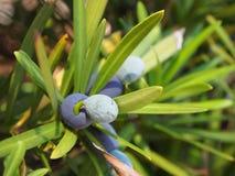 在常青树的蓝色莓果 免版税库存图片