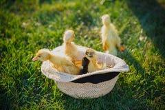 在帽子的小的逗人喜爱的鸭子 室外四只小的鸭子  免版税库存图片