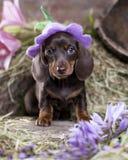 在帽子的达克斯猎犬小狗 免版税库存照片