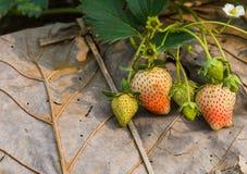 在干事假的新鲜的草莓灌木与早晨光 免版税库存照片