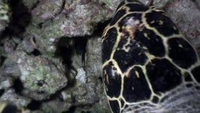 在干净的清楚的水下的海底的海龟在马尔代夫吃珊瑚 影视素材
