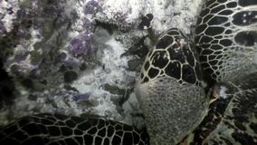 在干净的清楚的水下的海底的海龟在马尔代夫吃珊瑚 股票视频