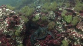 在干净的清楚的水的海龟水下在加拉帕戈斯 股票视频