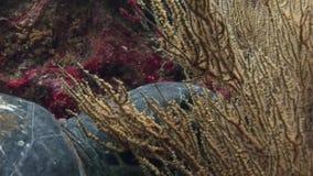 在干净的清楚的水的海龟特写镜头宏观录影水下在加拉帕戈斯 股票录像