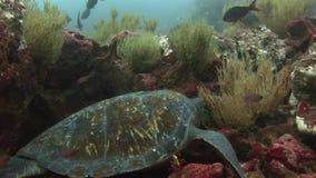 在干净的清楚的水的海龟特写镜头宏观录影水下在加拉帕戈斯 股票视频