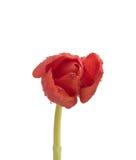 在干净的白色背景的被隔绝的湿红色郁金香 库存照片
