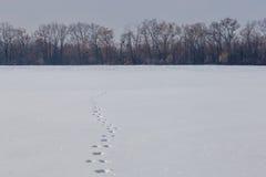 在干净的雪原的野兔轨道 多雪的天际的光秃的森林 库存图片