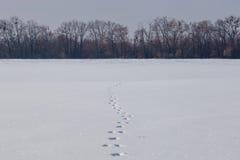 在干净的雪原的野兔轨道 多雪的天际的光秃的森林 免版税库存照片