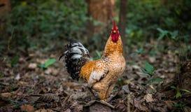 在干叶子的金黄颜色雄鸡公鸡 免版税库存照片