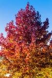 在干叶子盖的秋天树梢 免版税库存照片