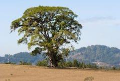 在干旱的领域中间的巨型树在危地马拉,中美洲 库存照片