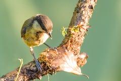 在干燥分支栖息的唯一伟大的山雀 库存图片