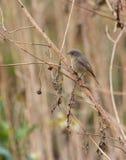 在干燥分支栖息的黑Redstart 库存图片