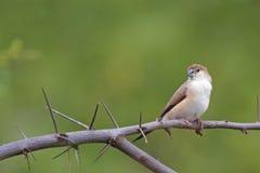 在干燥分支的一只鸟 免版税库存图片