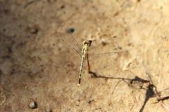 在干燥分支的蜻蜓 免版税图库摄影