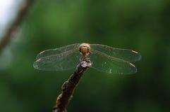 在干燥分支的蜻蜓 库存照片
