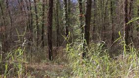 在干燥叶子之间的移动在森林 影视素材