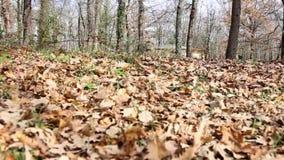 在干燥叶子之间的移动在森林 股票录像