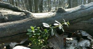 在干燥叶子旁边的生长草在早期的春天和一说谎的tre 免版税库存图片