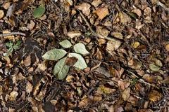 在干燥叶子的一片最近下落的绿色叶子报道了森林地面 库存照片