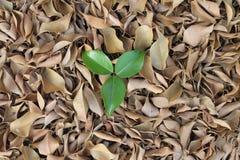 在干燥叶子的三片绿色叶子 免版税库存图片