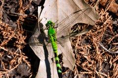 在干燥叶子的大绿色蜻蜓 免版税库存照片