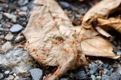 在干燥叶子的红色蚂蚁 免版税库存照片