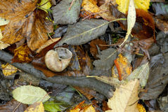 在干燥叶子的蜗牛 免版税库存照片