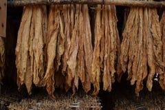 在干燥和通风仓库保留烟草叶子 免版税库存图片