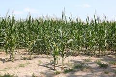 在干燥地球的玉米茎 库存照片