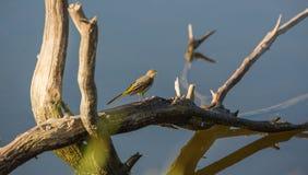 在干燥日志的黄色令科之鸟 免版税库存图片