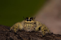 在干燥木头的特写镜头蜘蛛 免版税图库摄影
