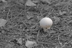 在干燥杉木针中的恶魔` s鼻烟壶蘑菇狂放的自然 库存图片