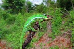 在干燥树干的变色蜥蜴 免版税库存图片