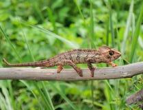 在干燥树树干的变色蜥蜴  免版税库存照片