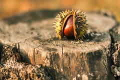 在干燥树桩的绿色栗子 库存照片