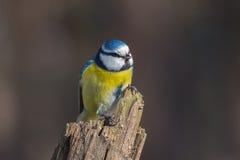 在干燥树桩的蓝冠山雀 图库摄影