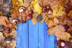 在干燥棕色栗子叶子和成熟栗子或者七页树属hippocastanum框架的年迈的蓝色木板结果实 免版税库存照片