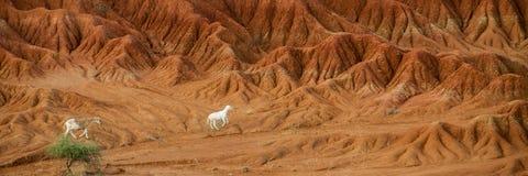 在干燥沙子石头岩石中间的绵羊羊羔 库存照片