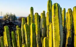 在干燥沙漠的多汁植物仙人掌 图库摄影