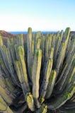在干燥沙漠的多汁植物仙人掌 免版税图库摄影