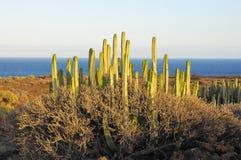 在干燥沙漠的多汁植物仙人掌 免版税库存照片