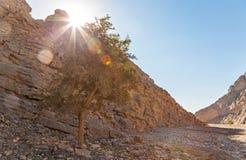 在干燥河床的树在阿拉伯联合酋长国 图库摄影