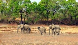 在干燥河床的非洲大象有充满活力的绿色树背景在南Luangwa,赞比亚 免版税库存图片